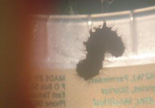 caterpillar's web